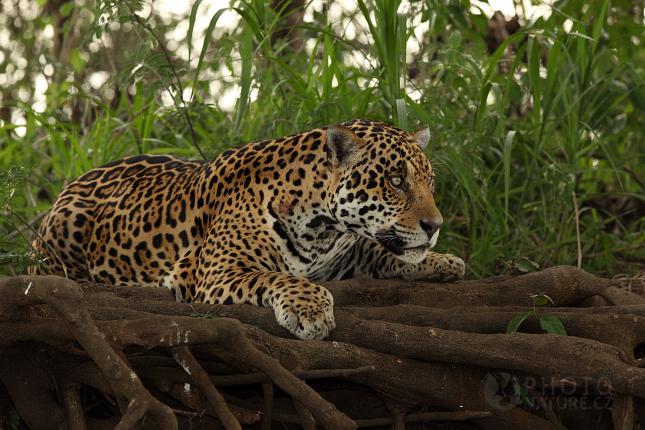 jaguar009