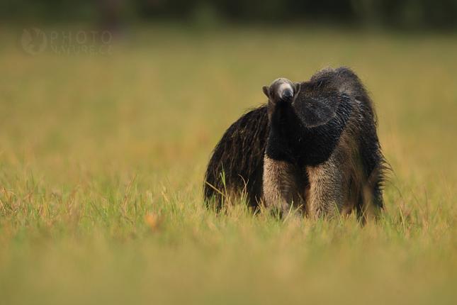 pantanal_anteater_02