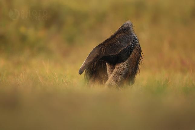 pantanal_anteater_04