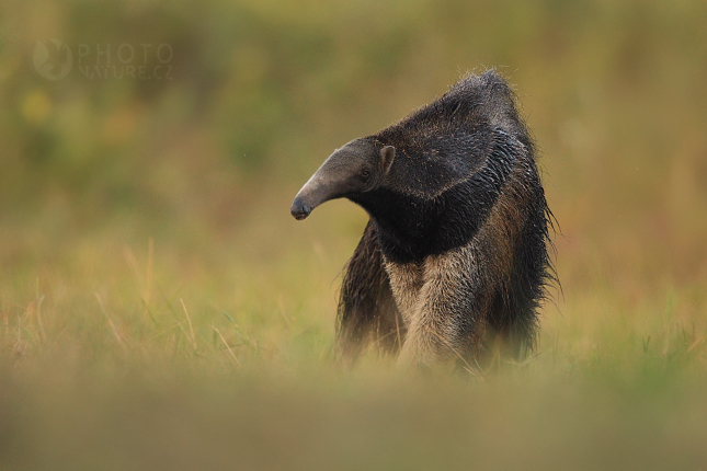 pantanal_anteater_05