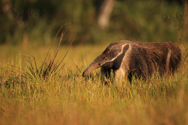 pantanal_anteater_06