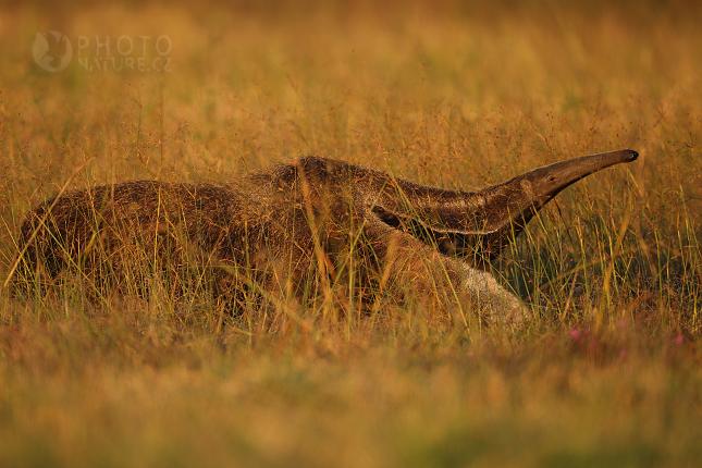 pantanal_anteater_08