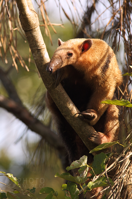 pantanal_anteater_10