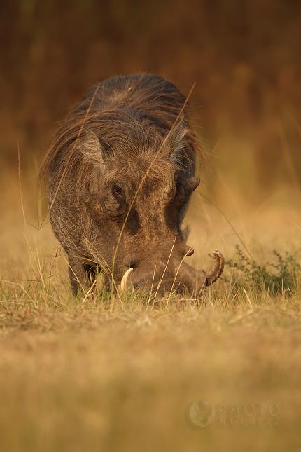 common warthog. Common Warthog,