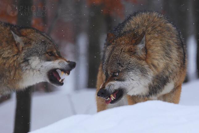 vlk03