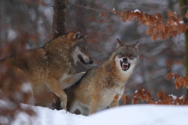 vlk08