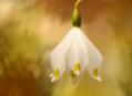 Bledule jarní, něžní poslové jara