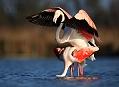 Plameňák růžový, rozmnožování na jihu Francie