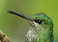 Za kolibříky do tropického Ekvádoru a Panamy