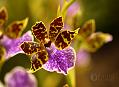 Fatamorgana, království orchidejí