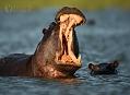 Hroch obojživelný, nebezpečí číhá ve vodě