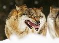 Bavorský les, krvavá realita vlčí smečky