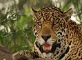 Jaguár americký, setkání s vládcem Pantanalu