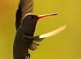 Fotografování kolibříků v tropickém Pantanalu