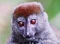 Lemur, endemit z Madagaskaru