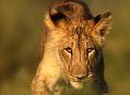 Lev pustinný, blízká Afrika na Slovensku