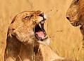 Páření lvů v Africe, lovcem živé krásy