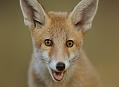 Liška obecná, hravé mládě v lese
