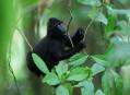 Makak chocholatý, rošťáci z ostrova Sulawesi