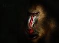 Mandril rýholící, tajemný duch rovníkové Afriky