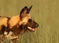 Pes hyenovitý, africká rallye v buši