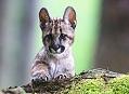 Puma americká, drsná šelma na Šumavě