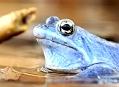 Skokan ostronosý, modrá mu sluší