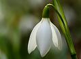 Sněženka podsněžník, jaro je konečně tady