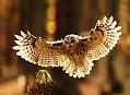 Podzimní fotografování sov na Šumavě