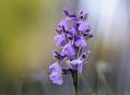 Orchideje, rozkvetlá Šumava