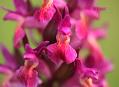 Orchideje na Šumavě, lovcem živé krásy
