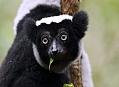 Indri, hledání tajúplného lemura