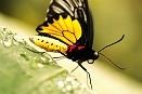 Výstava motýlů v Praze, létající Fata Morgana