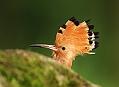 Dudek chocholatý, moravský pankáč, nebo kakadu