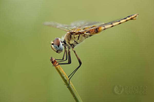 Vážky z Botswany