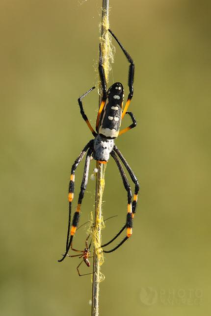 Pavouk, Botswana