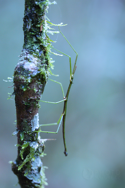 Strašilka (Phasmatodea)