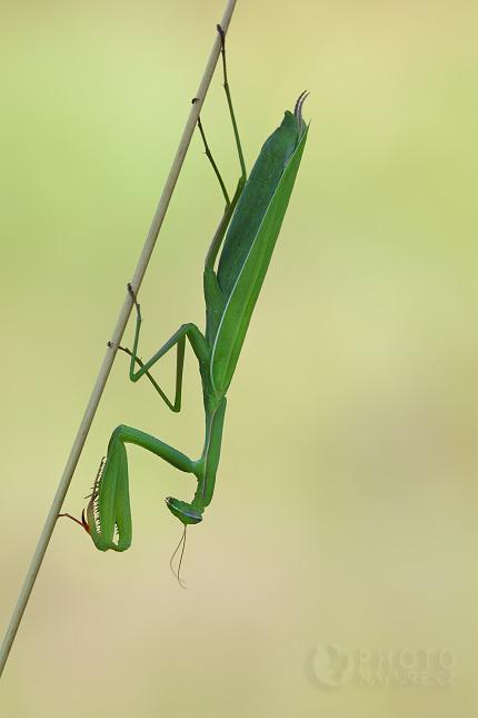 Kudlanka nábožná (Mantis religiosa), Jižní Morava