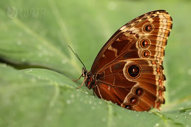 Owl Butterfly (Caligo memnon), Praha