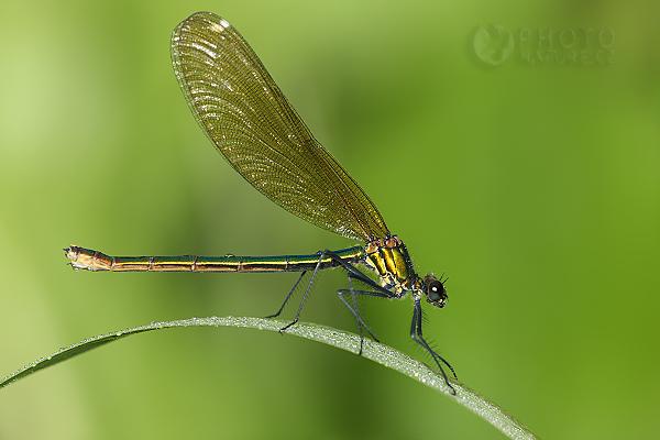 Motýlice lesklá (Calopteryx splendens), Česká Republika