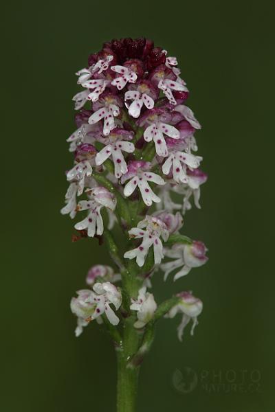 Vstavač osmahlý (Orchis ustulata), Česká Republika