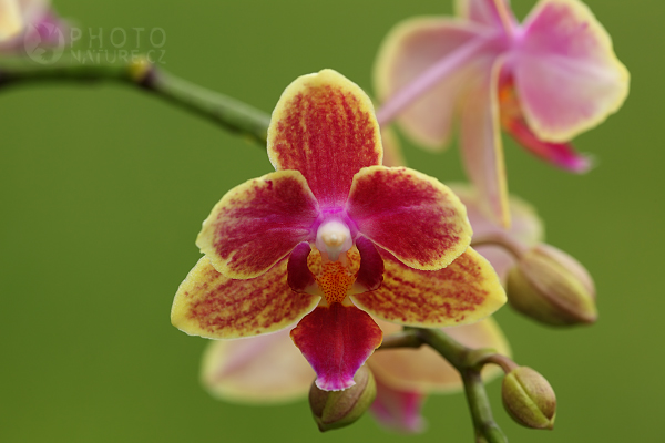 Orchidej Phalaenopsis, Česká Republika