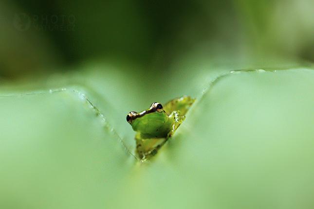 Mantila ozdobná (Guibemantis pulcher)