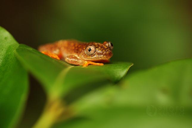Rákosnička běloskvrnná (Heterixalus Alboguttatus)
