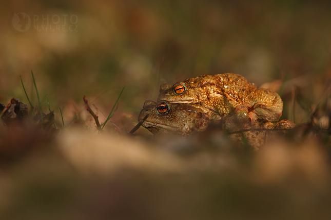 Ropucha obecná (Bufo bufo), Jivjany
