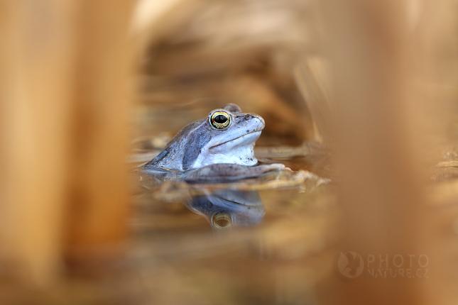 Skokan ostronosý (Rana arvalis)