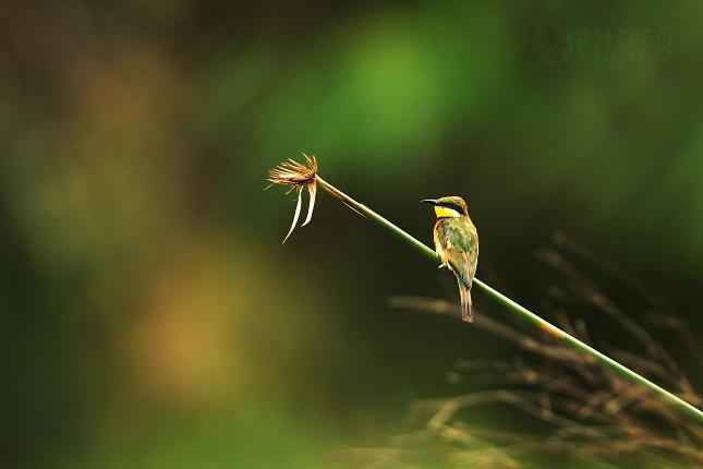 Vlha modroprsá (Merops variegatus)