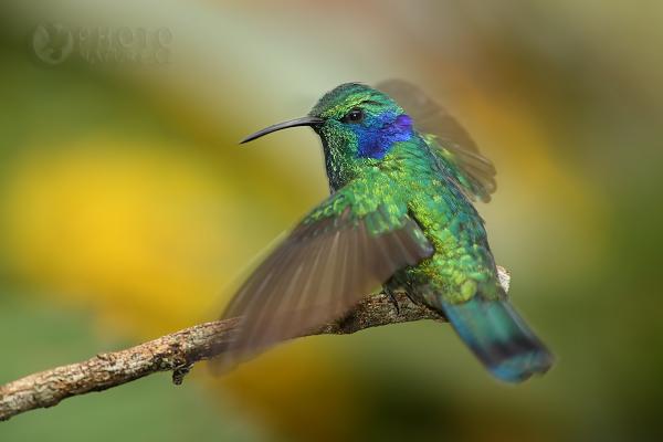 Kolibřík zelený (Colibri thalassinus), Kostarika