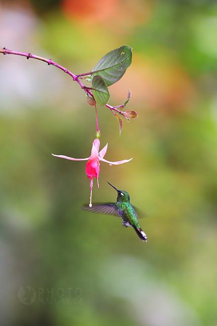 Kolibřík Benjaminův (Urosticte benjamini)