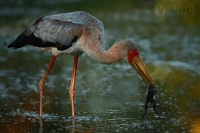 Nesyt africký (Mycteria ibis), Okawango